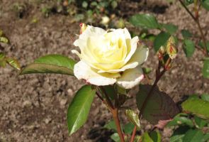 Shrub-rose 'Macy's Pride' 2 by Kattvinge