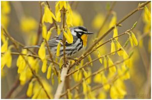 Yellow-throated Warbler by Ryser915