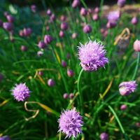 chives by Blue-eyed-Kelpie