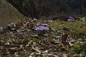 Graveyard crocuses by jena4renna