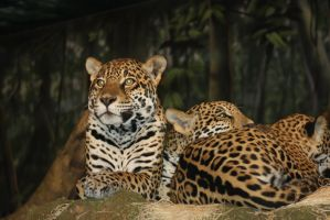 Jaguars by cheetahmikey