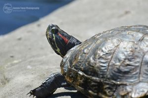 Turtle in the Sun by sweetcivic
