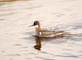 Red-necked Phalarope 02 by nordfold