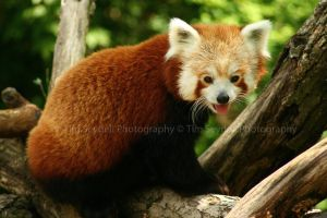 Red Panda in May by timseydell