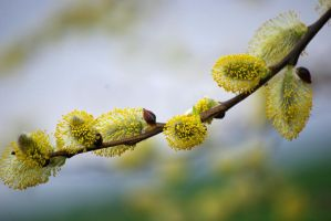 willow catkins by cheah77