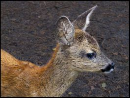 Baby of Roe Deer by Pildik