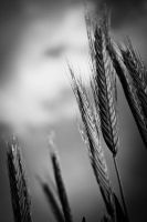 Wheat by lomax-fx