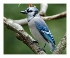 Blue Jay by rscorp