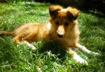 Rough Collie Puppy 2 by Lady-strife