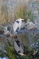 Heron by jhg162