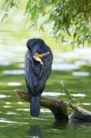Great Cormorant by 00Tiger00