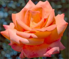 Rosa by Luks85