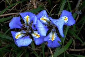 Mini Iris by EarthHart