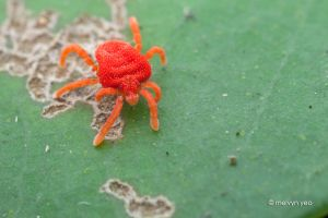 Red mite by melvynyeo