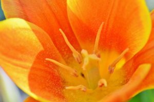macro tulip 2 6 by melrissbrook