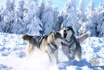 Siberian huskies - Playing by Dosty7
