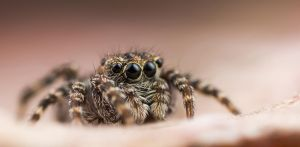 Jumping Spider 9 by Abovelifesize