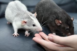 Meet our new ratties by stphq