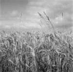 Sea of Wheat by pyros