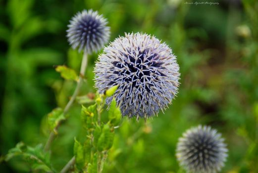 Ball of violet by Lookingthroughlenses