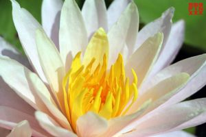 Lotus by AndreiPavel