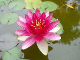 Nymphaea by FuriarossaAndMimma