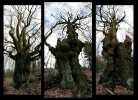 Weird Beeches by Hluthvik