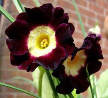 Auricula. by Helens-Serendipity