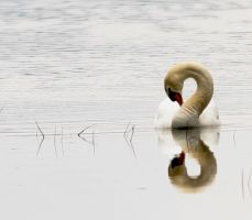 swan by in2photography