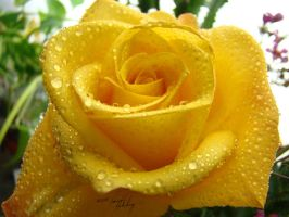 Yellow Rose Dew by GramMoo
