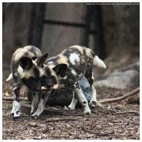 African Wild Dog - Pups 008 by ShineOverShadow