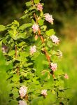 Currant by DaisyDinkle