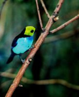 Paradise Tanager by Captain-Planet