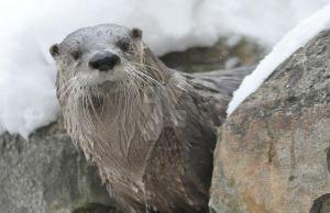 River Otter.4. by HecklingHyena
