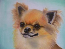 Chihuahua (longhaired) by rusellew
