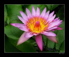 Waterlily Flower by biawak