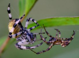 spiders courting by efeline