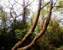 Twin Tree by A-McQ