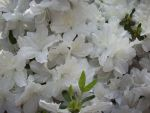 White Flowers 2 by TexelGirl-Stock