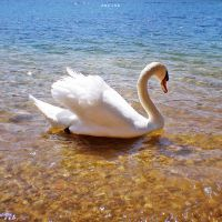 Swan by MarinaCoric