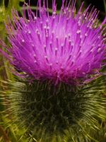 A SIMPLE THISTLE by trevj