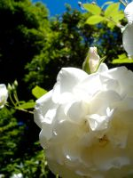 white rose by foil-duck