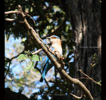 Indian Roller by krishvaish