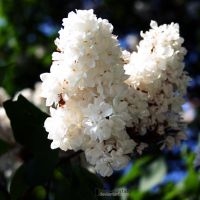 White Lilac by blue-crystall