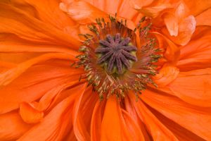 Poppy Seeds by muffet1