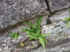 nature catches on - Fern by ilura-menday-less