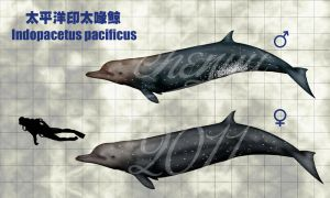 Indopacetus pacificus by sinammonite