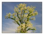 Tree in bloom.800 0265, with story by harrietsfriend