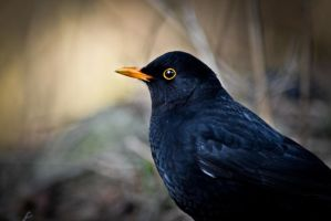 Blackbird by ZooMadness
