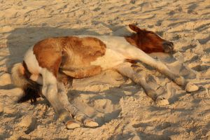 Sleeping Pinto Foal I by Stock-Wulf